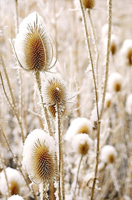 Cabin Wall Photograph - Snowy Thistle by The Forests Edge Photography - Diane Sandoval