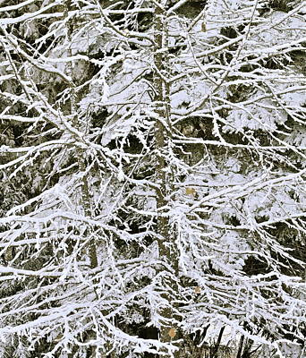 Photograph - Snowy Tracery by Michele Myers