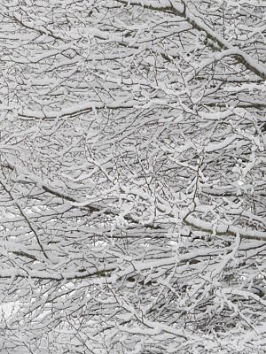Photograph - Snowy Tree Branches by Kathy Long