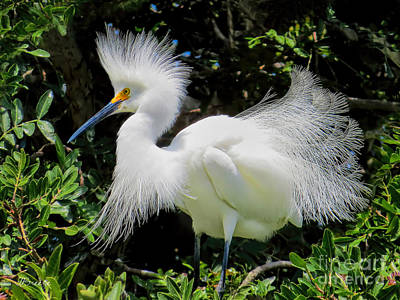 Snowy White Egret Breeding Plumage Art Print by Jennie Breeze