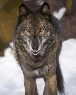 Photograph - Snowy Wolf by Jay Huron