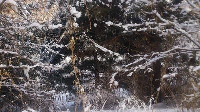 Zeni Shariff Photograph - Snowy Wooded Treest by Zeni Shariff