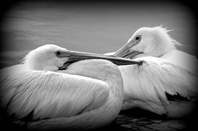 Photograph - Snuggly Pelicans 2 by Laurie Perry