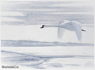 Photograph - So Long Winter Swan by LeeAnn McLaneGoetz McLaneGoetzStudioLLCcom