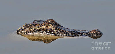 Photograph - So Still Alligator by Kathy Baccari