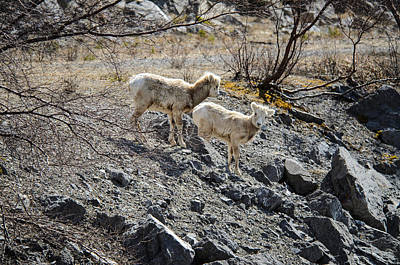 Photograph - So Sweet Little Big Horn Sheep  by Roxy Hurtubise
