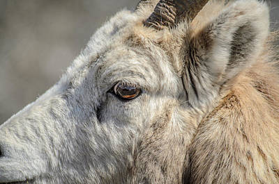 Photograph - Sweet Big Horn Sheep  by Roxy Hurtubise