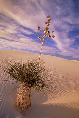 Soaptree Yucca  On Dune White Sands Art Print by