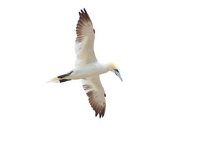 Photograph - Soarin' Gannet. by Evelyn Garcia
