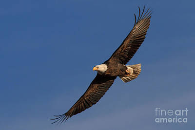 Photograph - Soaring Bald Eagle by Beth Sargent
