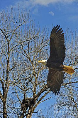 Photograph - Soaring Bald Eagle by Jack Moskovita
