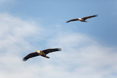 Photograph - Soaring Bald Eagles by Bill Wakeley