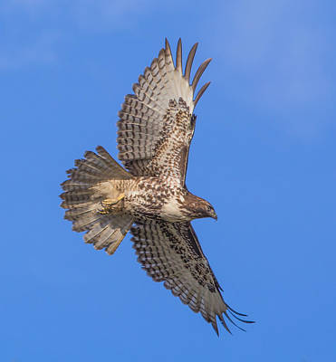 Red Tail Hawks Photograph - Soaring Beneath Blue Skies by Angie Vogel