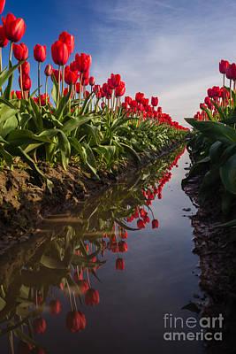 Festival Photograph - Soaring Crimson Tulips by Mike Reid