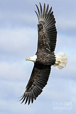 Photograph - Soaring Eagle by Larry Ricker