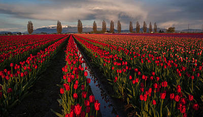 Festival Photograph - Soaring Fields Of Red Tulips by Mike Reid