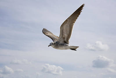 Photograph - Soaring Gull by Daniel Murphy