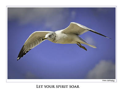 Photograph - Soaring Gull Poster by Fran Gallogly