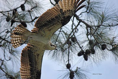 Photograph - Soaring Hawk by Deborah Hughes