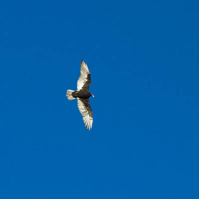 Photograph - Soaring by Omaste Witkowski