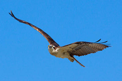 Photograph - Soaring Osprey by Adam Pender