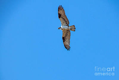 Haybales Photograph - Soaring Osprey by Robert Bales