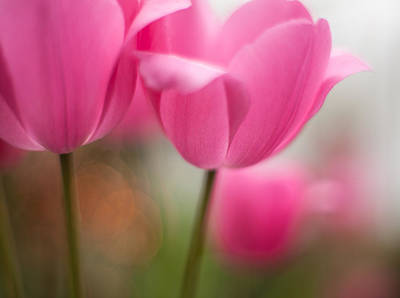 Thin Photograph - Soaring Pink Tulips by Mike Reid