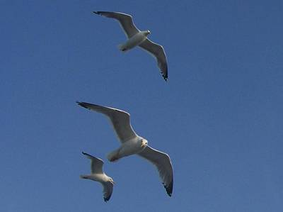 Soaring Seagulls Art Print by Noreen HaCohen