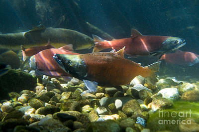 Kokanee Salmon Photograph - Sockeye Salmon Kokanee by William H. Mullins