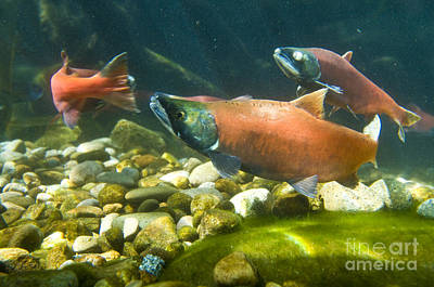 Kokanee Salmon Photograph - Sockeye Salmon Spawning by William H. Mullins