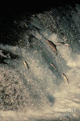 Fresh Water Fish Photograph - Sockeye Salmon Swimming Upstream by Ron Sanford
