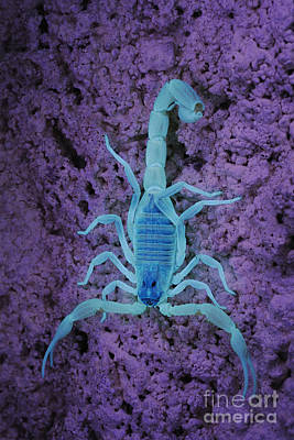 Photograph - Socotran Scorpion In Uv by Fabio Pupin FLPA