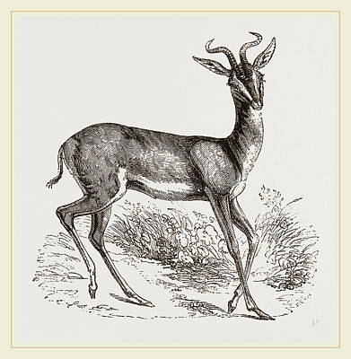 Antelope Drawing - Soemmerings Antelope by Litz Collection