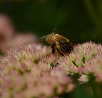 Photograph - Soflty The Bee by Rae Ann  M Garrett