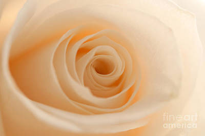 Photograph - Soft And Creamy Rose by Sarah Schroder