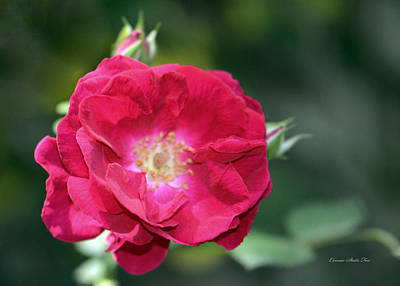 Photograph - Soft And Gentle Rose by Connie Fox