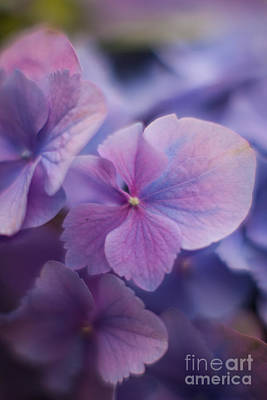 Royalty-Free and Rights-Managed Images - Soft Blue Hydrangea by Mike Reid