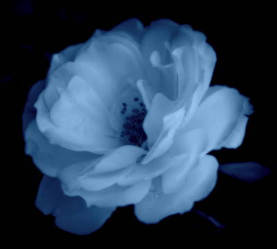 Photograph - Soft Blue Perfection by Kathy Sampson