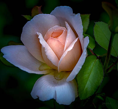 Photograph - Soft Blush Rose by Julie Palencia