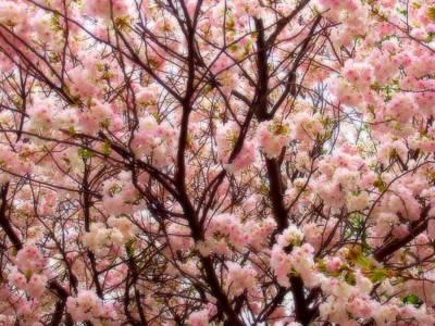 Photograph - Soft Cherry Blossoms by Deborah  Crew-Johnson