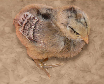 Photograph - Soft Chick by MM Anderson