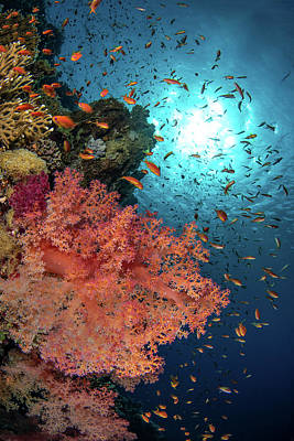 Photograph - Soft Coral And Anthias Fish On Jackson by Brook Peterson