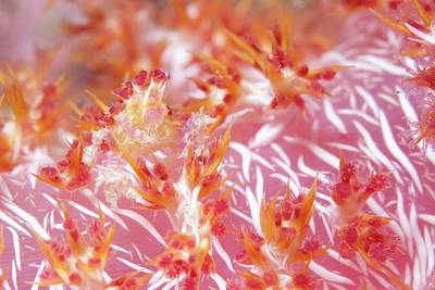 Soft Coral Crab Hidden On Soft Coral Art Print by Scubazoo