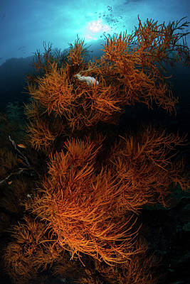 Photograph - Soft Corals, Sipadan, Malaysia by Alessandro Cere