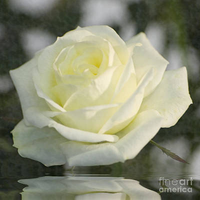 Photograph - Soft Cream Rose by Brian Roscorla