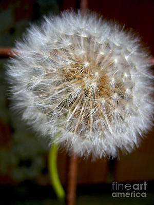 Photograph - Soft Dandelion by Nina Ficur Feenan