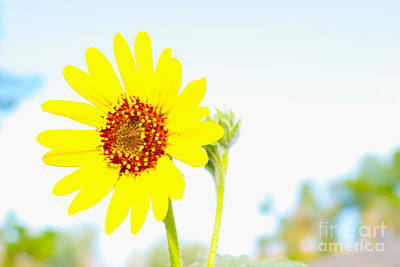 Photograph - Soft Desert Daisy by Rich Collins