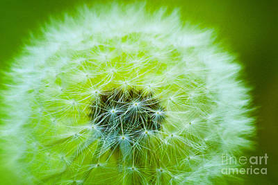Photograph - Soft Fluffy Dandelion In Green by Jerry Cowart