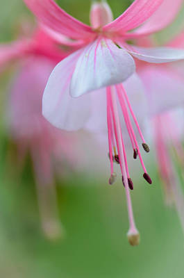 Photograph - Soft Fuchsia by Amy Porter