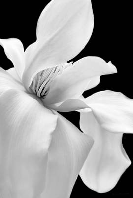 Photograph - Soft Light Magnolia Flower Black And White by Jennie Marie Schell